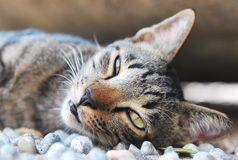 Sleepy Cat. A photo taken on a sleepy tabby cat on a lazy afternoon Royalty Free Stock Images