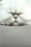 Sleepy Cat Royalty Free Stock Images