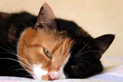 Free Sleepy Cat Royalty Free Stock Image - 34680486