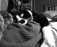 Sleepy Cat Awake. Portrait of a sleepy cat in black and white Stock Image