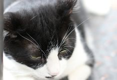 the black and white cat royalty free stock image