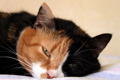 Sleepy cat Royalty Free Stock Image