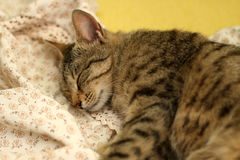 Sleepy Cat. Cute tabby cat sleeping on floral sheets. Selective focus stock images