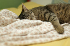 Sleepy Cat. Cute tabby cat sleeping on floral sheets. Selective focus royalty free stock image
