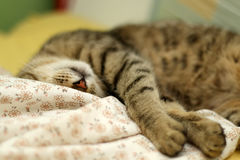 Sleepy Cat. Cute tabby cat sleeping on floral sheets. Selective focus royalty free stock photo