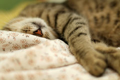 Sleepy Cat. Cute tabby cat sleeping on floral sheets. Selective focus stock photography