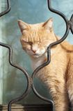 Sleepy cat!. Ginger cats, pets, animal sleep, dream, slumber, drowse, drowsiness, drowsy, outside, glass, steel, iron grating Royalty Free Stock Image