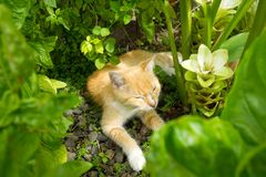 A feline pet dozing between tropical plants in the caribbean Royalty Free Stock Photography
