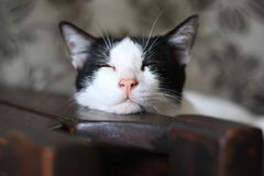 Sleepy cat. In a living room chair and not hold sleepiness. adorable and cute Royalty Free Stock Photo