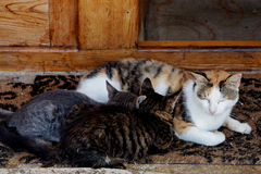 A sleepy cat nursing 2 kittens Stock Image