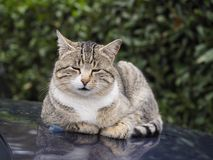 Sleepy cat resting. On the hood of a car Stock Images