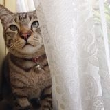 Sleepy cat. Cat sitting behind white curtain Stock Photos