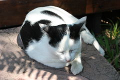 Sleepy cat. White black cat is sleepy on cement floor stock photography