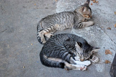 Sleepy Cats Royalty Free Stock Images