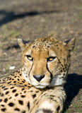 Sleepy cheetah Royalty Free Stock Image