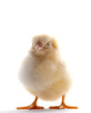 Sleepy Chick Royalty Free Stock Images