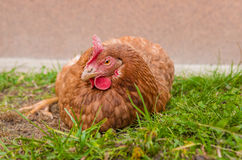 Sleepy Chicken Royalty Free Stock Image