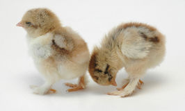 Sleepy chickens. Two newly born sleepy chickens on a white background Stock Photo