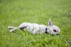 Sleepy chihuahua stock image