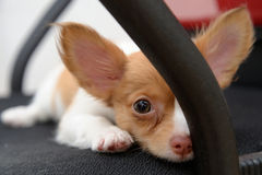 Sleepy Chihuahua Royalty Free Stock Images