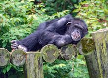 Sleepy chimpanzee on logs. Reclining chimpanzee on rustic logs with green foliage background stock images