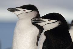 Sleepy chinstrap penguins, Antarctica royalty free stock images