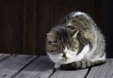 Sleepy chubby cat lied on the wooden ground around outdoor Royalty Free Stock Photo