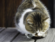 Sleepy chubby cat lied on the wooden ground around outdoor Royalty Free Stock Photography