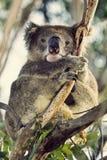 Sleepy coala Stock Image