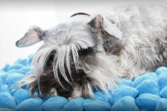 Sleepy comfy dog Royalty Free Stock Photo