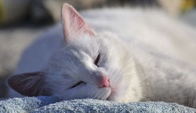 Sleeping contented cat (Felis catus) Royalty Free Stock Image