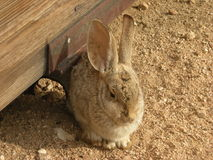 Sleepy Cottontail. This sleepy desert cottontail is taking a break near a wooden structure in Yucca Valley, California Royalty Free Stock Photo
