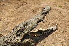 Sleepy Crocodile Stock Images