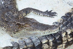 Sleepy crocodile. In the zoo, Samutprakarn crocodile farm, Thailand Stock Photo