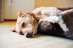 Sleepy cross breed dog in basket Stock Photo