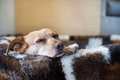 Sleepy cross breed dog in basket Royalty Free Stock Photos