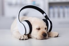Sleeping cute labrador puppy dog with large headphones. Sleepy cute labrador puppy dog with large headphones taking a nap, shallow depth stock image