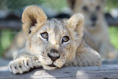 Sleepy cute lion cub lying down on tree royalty free stock images