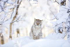 Sleepy cute lynx cub in the cold winter forest Royalty Free Stock Image