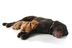 Sleepy dachshund and lab royalty free stock photos