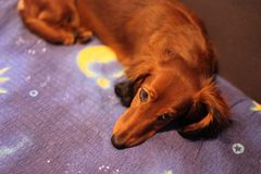Sleepy dachshund ready for bed. Close up of a sleepy dachshund puppy, on dreamy bed sheets royalty free stock photos
