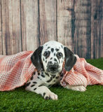 Sleepy Dalmatian Puppy Royalty Free Stock Images