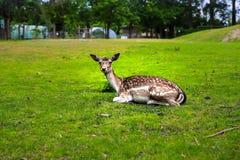 Sleepy deer at zoo stock photo