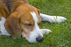 Sleepy dog Royalty Free Stock Photos