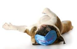 Sleepy dog. English bulldog laying on back with sleep mask that says - ten more minutes with reflection on white background Royalty Free Stock Photos