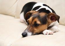 Sleepy dog. Sleepy Jack Russell dog on a couch Stock Image