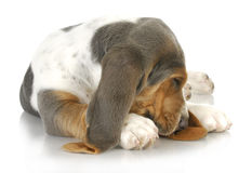Sleepy dog Stock Images