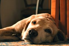 Sleepy dog. Portrait of a cute dog lying on the floor, meditative glance and sweet eyes Stock Images