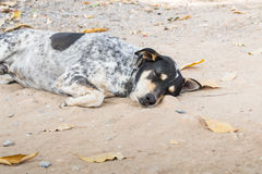 Sleepy Dog Stock Images