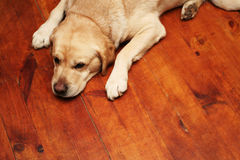 Free Sleepy Dog Royalty Free Stock Photo - 3852605